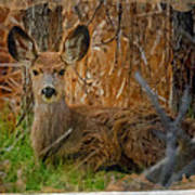 Young Mulie Poster