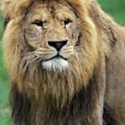 Lion Dafrique Panthera Leo Poster