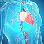 Human Vascular System Poster