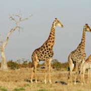 Africa, Botswana, Chobe National Park Poster