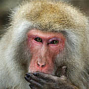 Japanese Macaque Poster