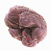 Brain With Blood Supply Poster