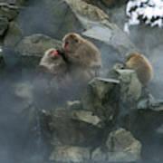Macaque Du Japon Macaca Fuscata Poster