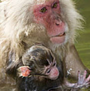 Snow Monkeys, Japan Poster