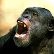 Chimpanze Pan Troglodytes Poster