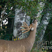 White-tailed Buck Poster by Linda Freshwaters Arndt