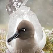A Light Mantled Albatross Poster