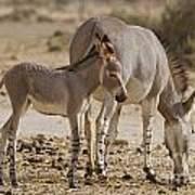 African Wild Ass Equus Africanus Poster