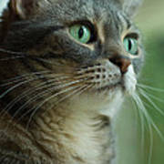 American Shorthair Cat Profile Poster by Amy Cicconi