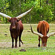 Ankole-watusi Cattle Poster