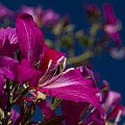 Bauhinia Purpurea - Hawaiian Orchid Tree Poster