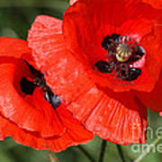 Beautiful Poppies 2 Poster by Carol Lynch