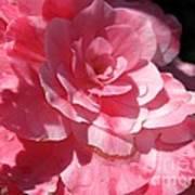 Begonia Named Nonstop Pink Poster