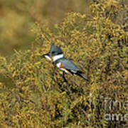 Belted Kingfisher With Fish Poster