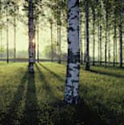 Birch Trees By The Vuoksi River Poster