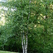 3 Birch Trees On A Hill Poster