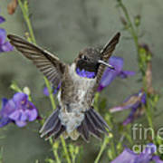 Black-chinned Hummingbird Poster