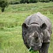 Black Rhinoceros Diceros Bicornis Michaeli In Captivity Poster by Matthew Gibson