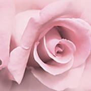 Blushing Pink Rose Flower Poster