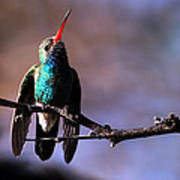 Broad Bill Hummingbird Poster