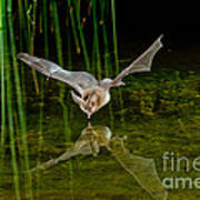 California Leaf-nosed Bat At Pond Poster
