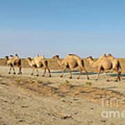 Camel. Poster