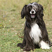 Chinese Crested Dog Poster