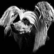 Chinese Crested Hairless Poster