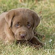 Chocolate Labrador Puppy Poster