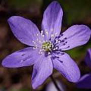 Common Hepatica Poster