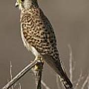 Common Kestrel Falco Tinnunculus Poster