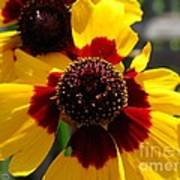 Coreopsis Or Golden Tickseed Poster