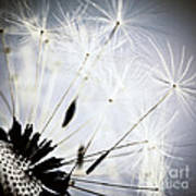 Dandelion Poster by Elena Elisseeva
