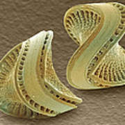 Diatoms, Sem Poster by Power And Syred