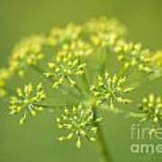 Yellow Dill Flower Poster
