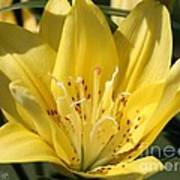 Double Asiatic Lily Named Fata Morgana Poster