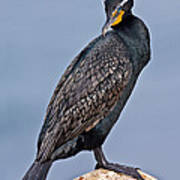 Double Crested Cormorant Poster