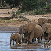 Elephants Crossing The River Poster