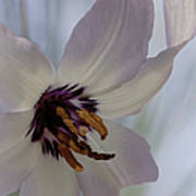 Fawn Lily Poster