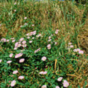 Field Bindweed (convolvulus Arvensis) Poster