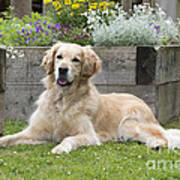 Golden Retriever Dog Poster