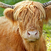 Highland Cow Poster by Brian Jannsen