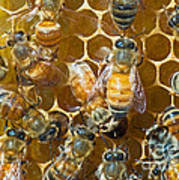 Honey Bees In Hive Poster