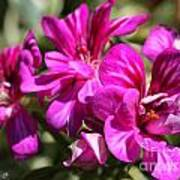 Ivy Geranium Named Contessa Purple Bicolor Poster