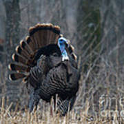 Jake Eastern Wild Turkey Poster