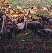 Juvenile Ibis Poster