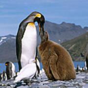 King Penguins Aptenodytes Patagonicus Poster by Hans Reinhard