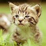 Kitty In Grass Poster