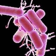 Lactobacillus Bacteria Poster