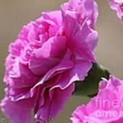 Lavender Carnations Poster